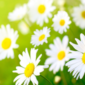 Daisy Wallpapers icon