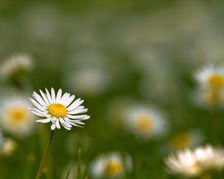Daisy Wallpapers apk screenshot