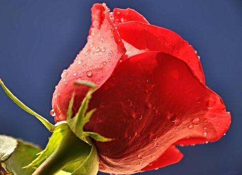 Roses Wallpapers for Chat apk screenshot