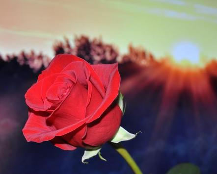 Roses Wallpapers for Chat screenshot 8