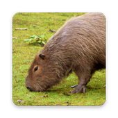Capybara Wallpapers icon