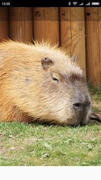 Capybara Wallpapers apk screenshot