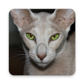 Oriental Shorthair Wallpapers icon