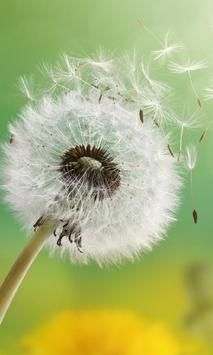 Dandelion Wallpapers apk screenshot