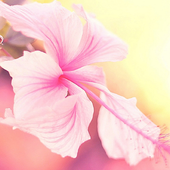 Pink New HD Wallpapers icon