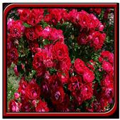 Rose Garden Ideas icon