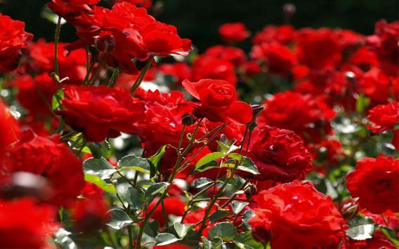 Rose Garden Ideas apk screenshot