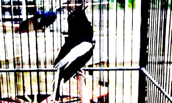 Masteran Burung Kacer Poci poster