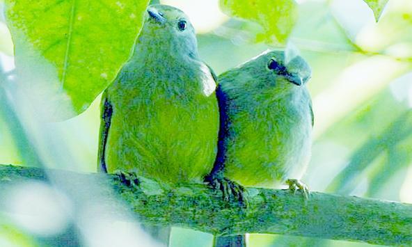Masteran Burung Opior poster