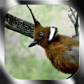 Kicau Burung Cililin For Android Apk Download