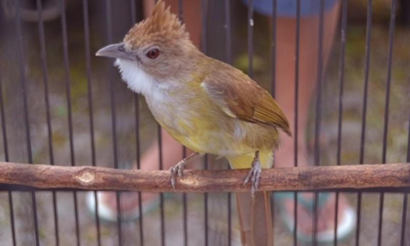 Kicau Burung Cucak Jenggot For Android Apk Download