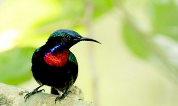 Kicau Burung Kolibri apk screenshot
