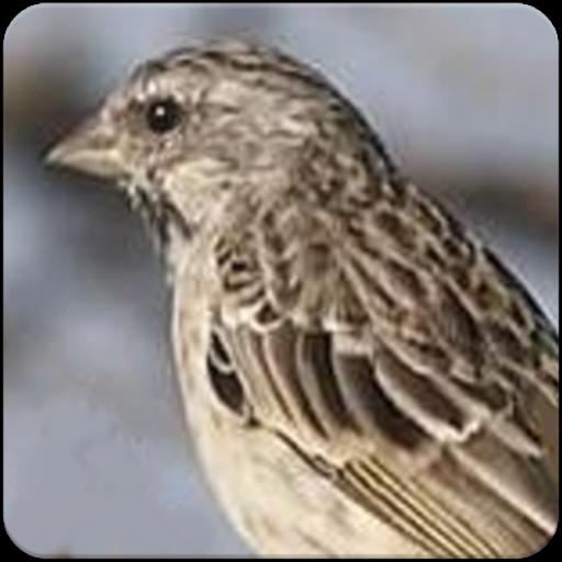 Suara Burung Blackthroat Masteran Gacor Ngeroll Apk 2 1 0 Download For Android Download Suara Burung Blackthroat Masteran Gacor Ngeroll Apk Latest Version Apkfab Com