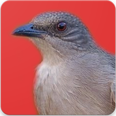 Suara Burung Kapas Tembak : Masteran Kapas Tembak icon