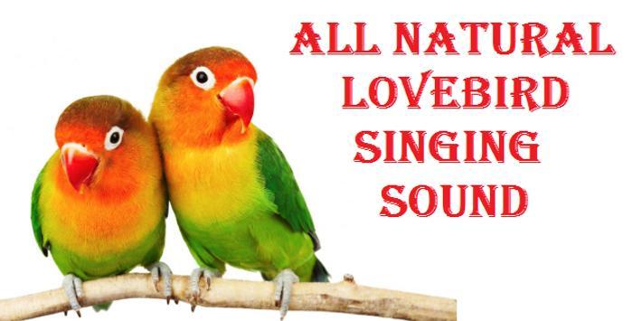 Suara Kicau Burung Lovebird poster
