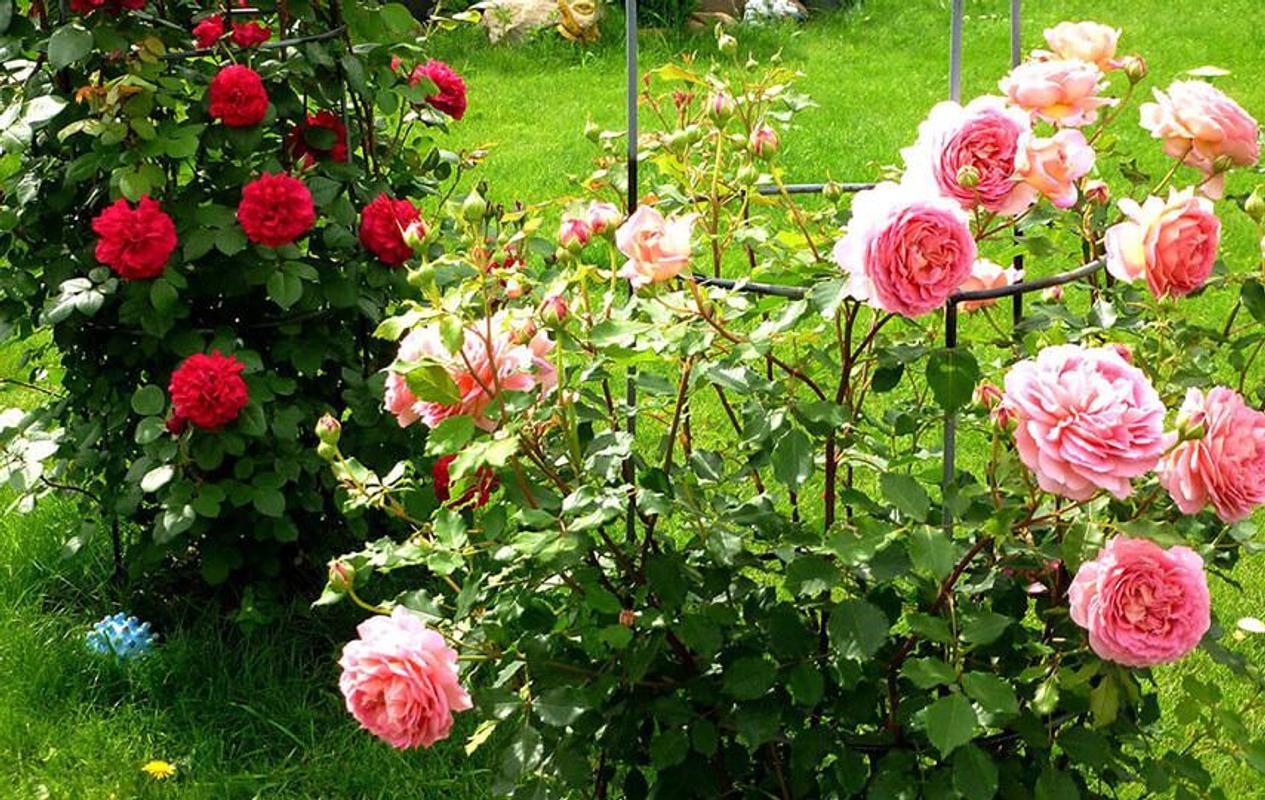 Roses Garden Wallpaper APK Download - Free Personalization APP for ...