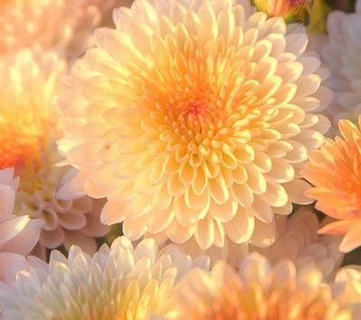 Chrysanthemums Wallpapers screenshot 4