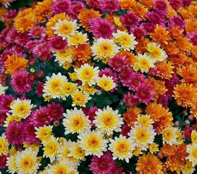 Chrysanthemums Wallpapers screenshot 5