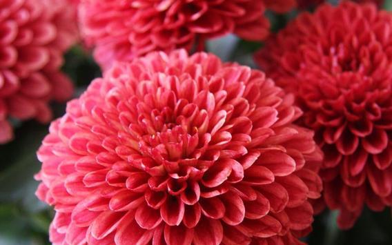 Chrysanthemums Wallpapers screenshot 6