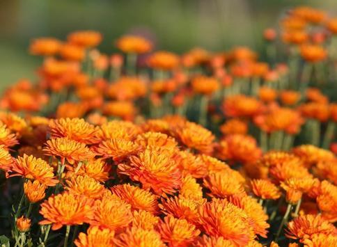 Chrysanthemums Wallpapers screenshot 7
