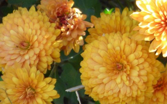Chrysanthemums Wallpapers screenshot 8