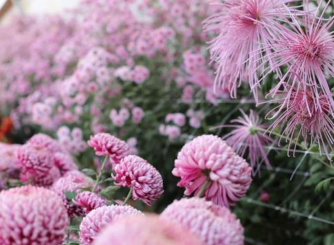 Chrysanthemums Wallpapers screenshot 9
