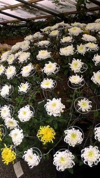 Chrysanthemums Wallpapers screenshot 1
