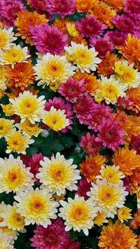 Chrysanthemums Wallpapers screenshot 2