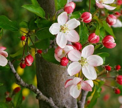 Apple Blossom Wallpapers screenshot 3