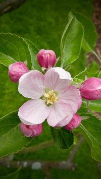 Apple Blossom Wallpapers poster