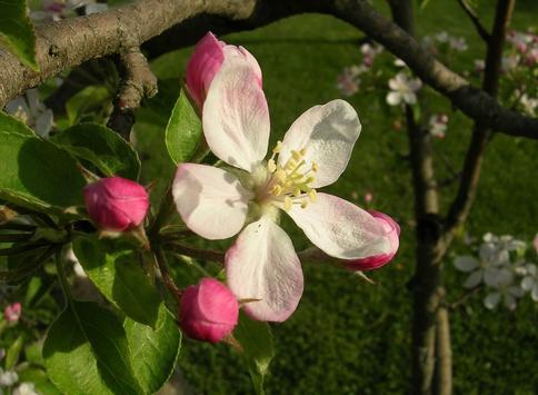 Apple Blossom Wallpapers screenshot 7
