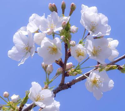 Apple Blossom Wallpapers screenshot 4
