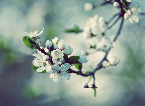 Apple Blossom Wallpapers screenshot 9