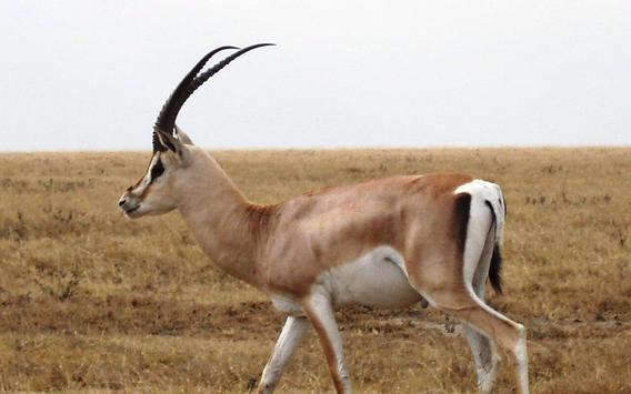 Gazelle Wallpapers screenshot 8