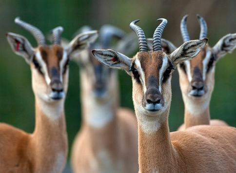 Gazelle Wallpapers screenshot 9