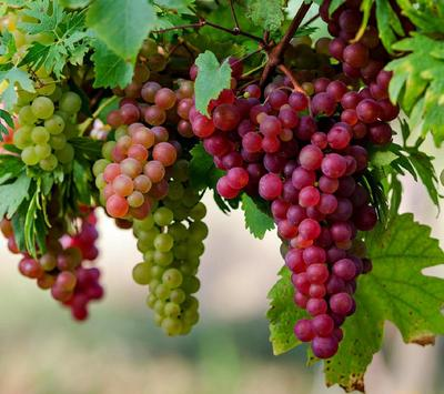 Grape Wallpapers screenshot 3