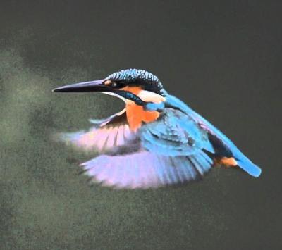 Kingfisher Wallpapers apk screenshot