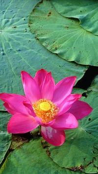 Lotus Wallpapers poster