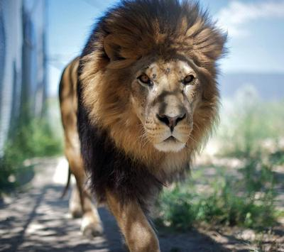 Lions Wallpapers apk screenshot