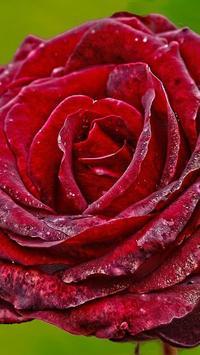 Red Rose Wallpapers screenshot 2