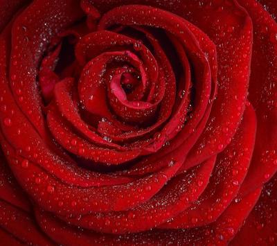 Red Rose Wallpapers screenshot 4
