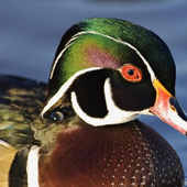 Wood Duck Wallpapers icon