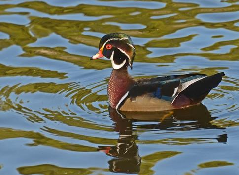Wood Duck Wallpapers apk screenshot