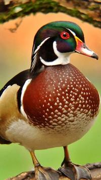 Wood Duck Wallpapers poster