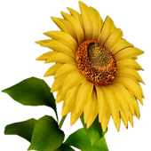 Sunflower 3D icon