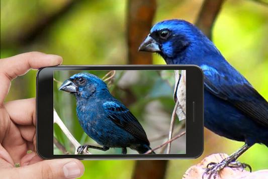 Canto Azulão Fibra para Encartar screenshot 1