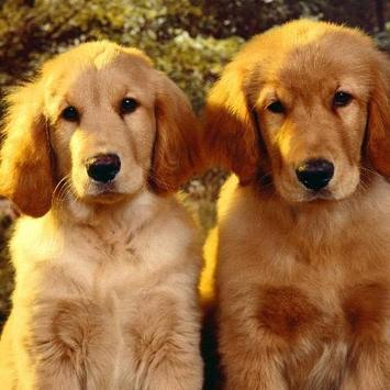 Golden Retriever Dogs Jigsaw Puzzles screenshot 4