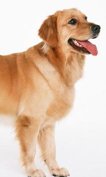 Golden Retriever Dogs Jigsaw Puzzles screenshot 2