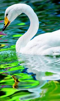 swan live wallpaper poster