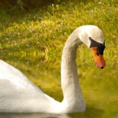 swan wallpapers icon